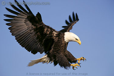 bald eagle research paper Characteristics of bald eagles the bald eagle is one of the largest birds in the northeast in profile, as it flies toward you.