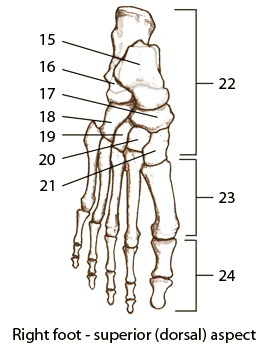 Sports medecine 102 process use these diagrams to label your muscles and bones ccuart Gallery