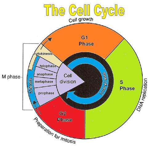 The Cell Cycle Conclusion