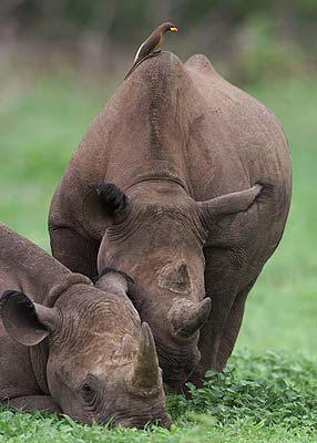 oxpecker and rhino symbiotic relationship worksheet