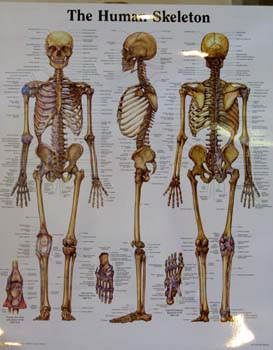 Name the major bones of the human body and descibe their funtion ...