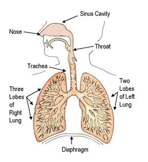 The human system process here is a diagram to help you remember how the respiratory system is set up ccuart Choice Image