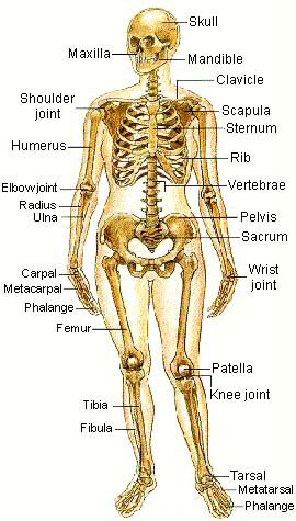about the skeletal system