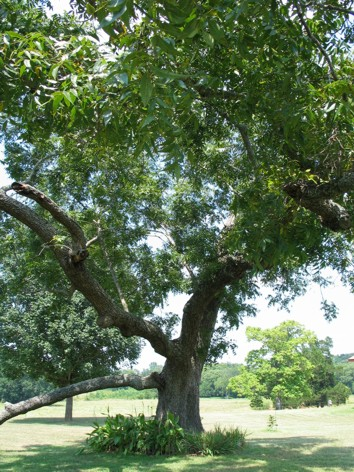 read about the texas state tree what is the name of the state tree what grows on the state tree